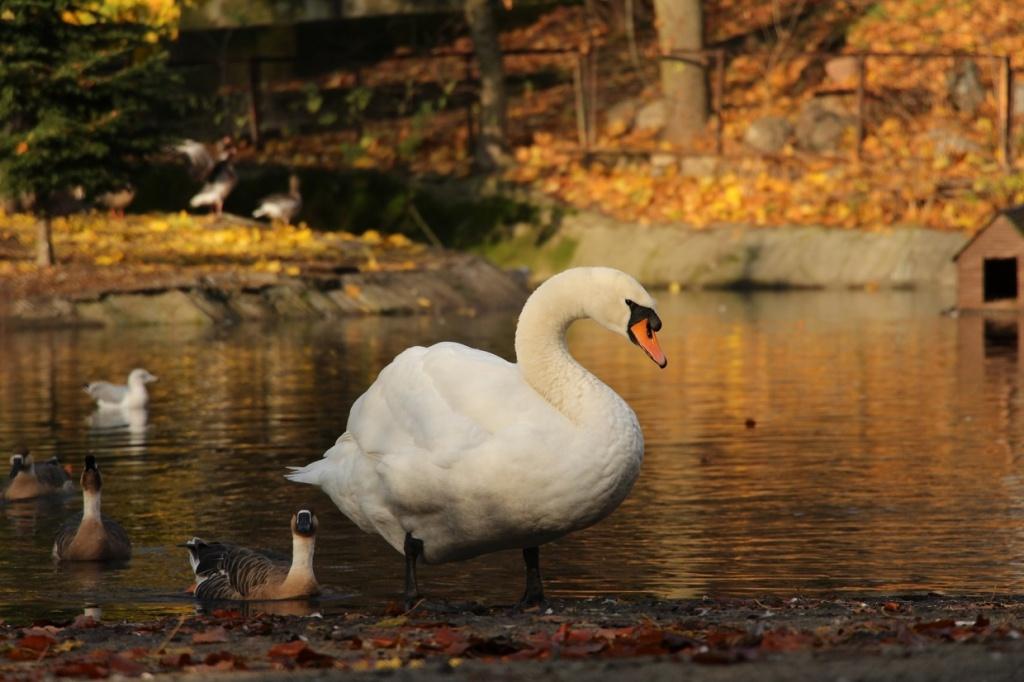 Чем кормят лебедей на озере