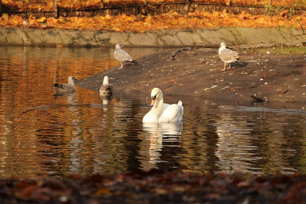 Чем можно кормить лебедей на озере