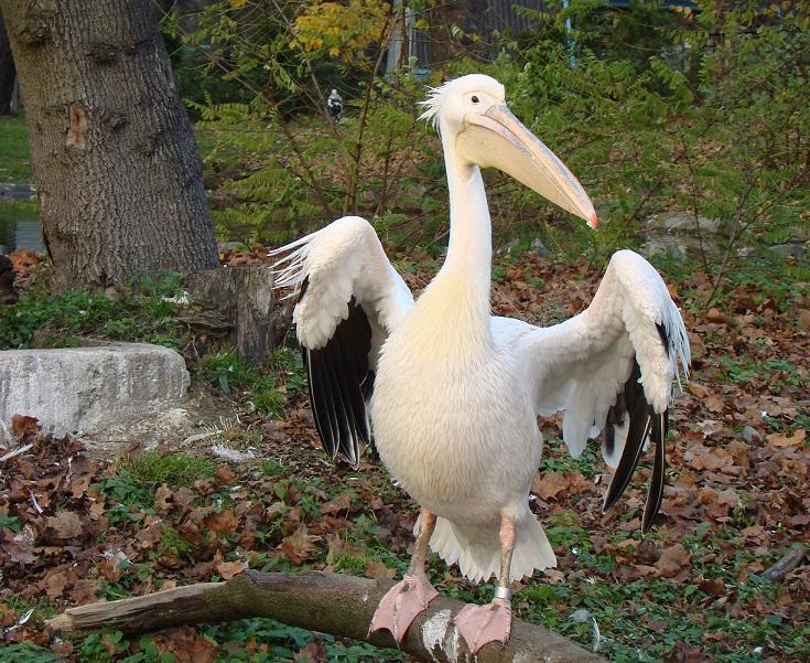 Пеликанообразные
