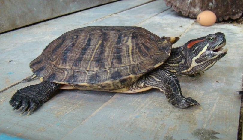 Водные черепахи в домашних условиях