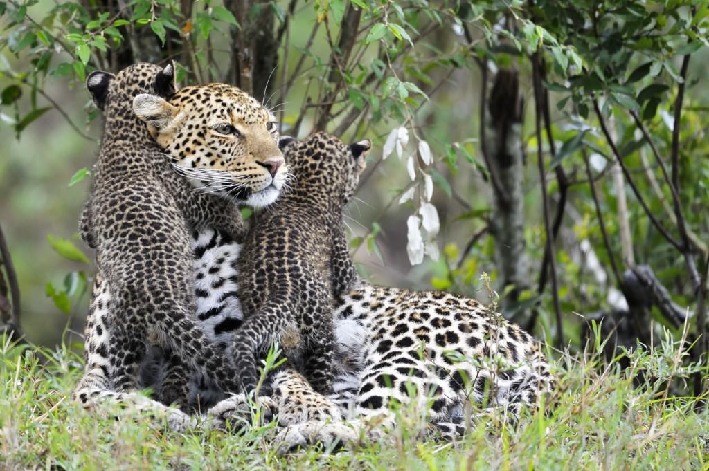 Жизнь юного леопарда Ян Вермеер