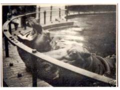 Фотография. Бегемоты в Кёнигсбергском зоопарке. Из личного архива. Подарена Калининградскому зоопарку в конце 90-х гг. ХХ в.