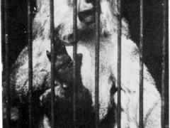 Фотография. Павиан. 1930 г. Подарена «Обществом по охране и исследованию сов» (Германия).