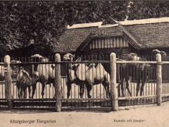 Открытка Кёнигсбергский зоопарк. Верблюды с молодняком.