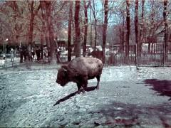 Фотография. Вольер бизонов. 1939 г. Подарена «Обществом по охране и исследованию сов» (Германия).