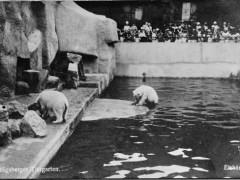 Открытка. Кёнигсбергский зоопарк. Полярные медведи. 1927 г. Подарена «Обществом по охране и исследованию сов» (Германия).