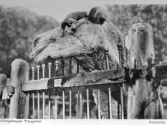 Открытка. Верблюд. 30-е гг. ХХ в. Подарена «Обществом по охране и исследованию сов» (Германия).