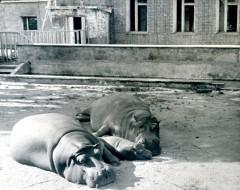 Фотография. Бегемоты Хан, Мери и Принц 1978 г. Из архива зоопарка.
