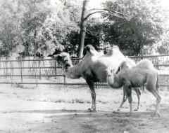 Фотография. Верблюды Пенелопа и Рада 1970-е гг. Из архива зоопарка.