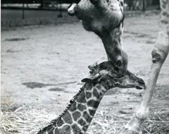 Фотография. Новорожденный жираф Глеб 1975 г. Из архива зоопарка.