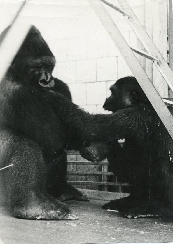 Джой и Лиана — береговые гориллы 28.07.1978 г.