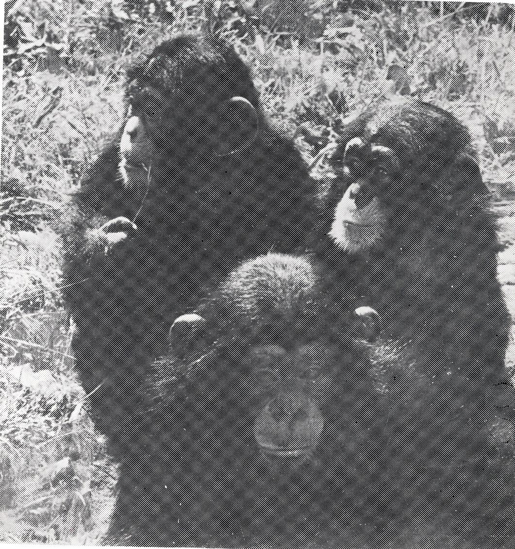 Детёныши шимпанзе Дик, Флинт, Каролина 1974 г.
