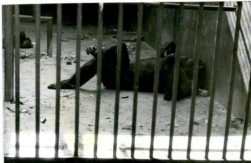 Шимпанзе Йоки 1970-е г.