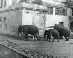 Семья слонов: Джимми, Шандра и Преголя. 1976 — 78 г. Из архива Калининградского зоопарка.