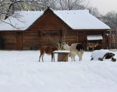 Вольер лам. Зима 2016 г. Из архива Калининградского зоопарка.