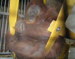 Фотография. Самка орангутана Сипора. 2002 г. Из архива Калининградского зоопарка.