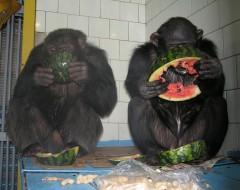 Фотография. Шимпанзе Максим и Юля. 2006 г. Из архива Калининградского зоопарка.