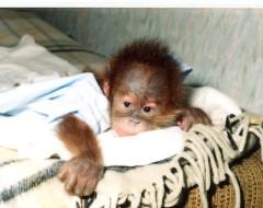 Фотография. Детёныш орангутана Симона — дочь Сипоры и Бадута. 1996 г. Из архива Калининградского зоопарка.