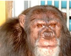 Фотография. Шимпанзе Максим. Май 2007 г. Из архива Калининградского зоопарка.