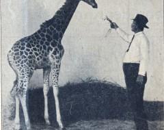 Фотография. Жирафёнок в Кёнигсбергском зоопарке. 30-е гг. ХХ в. Подарена «Обществом по охране и исследованию сов» (Германия).